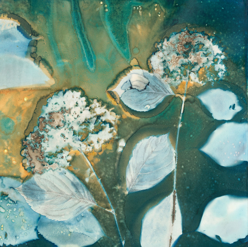 Flor do Pico  | 20 x 20 | altered cyanotype on cradled panel | SOLD