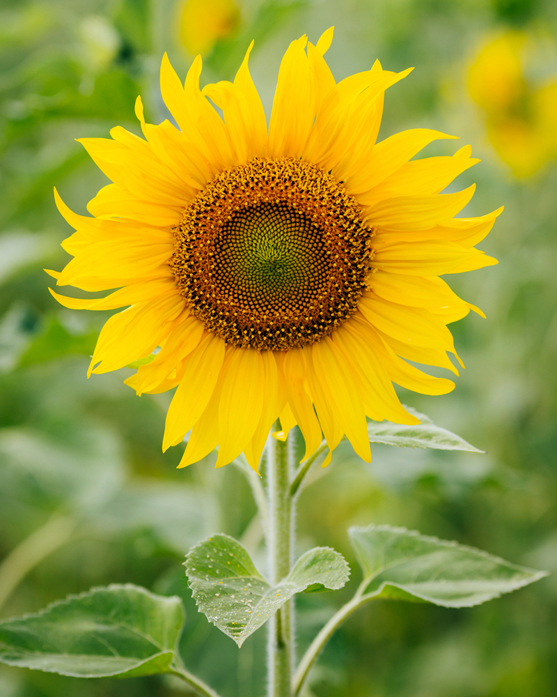 6-11_Meaning-of-Sunflowers_Images.jpg