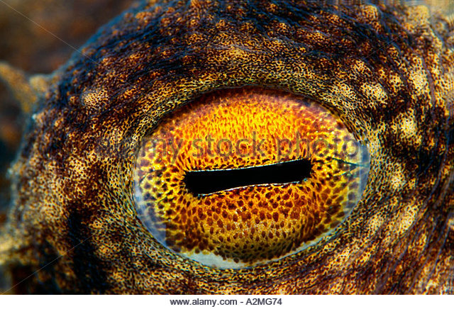 eye-of-a-common-octopus-octopus-vulgaris-a2mg74.jpg