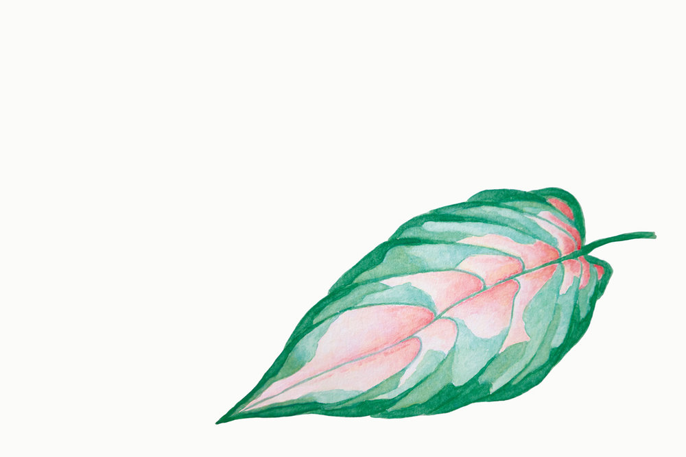 Paper-Roses | Variegated leaf