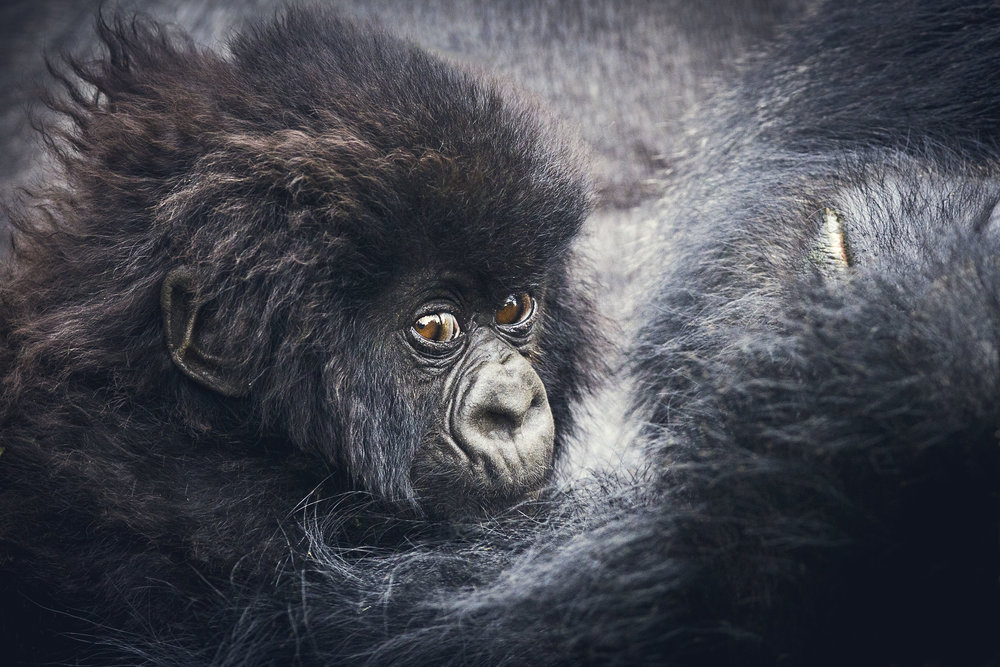 Gorille-1 copy.jpg