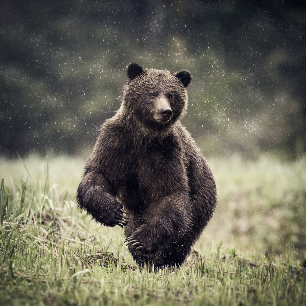 Grizzly-1 copy.jpg