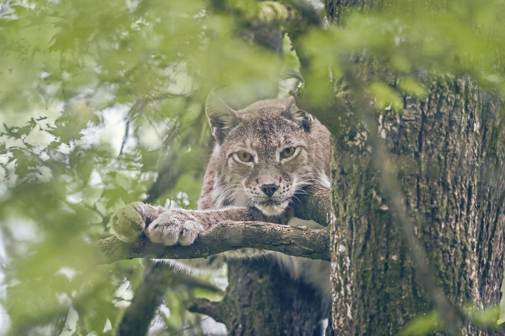 Lynx-1 copy.jpg