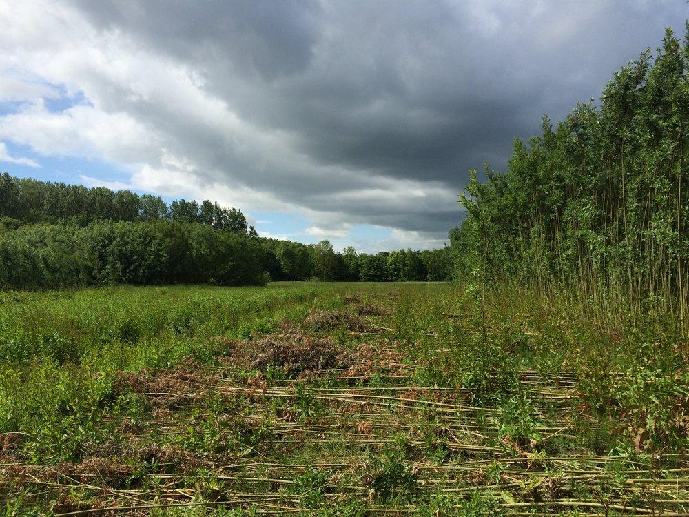 WonderWoods willow field