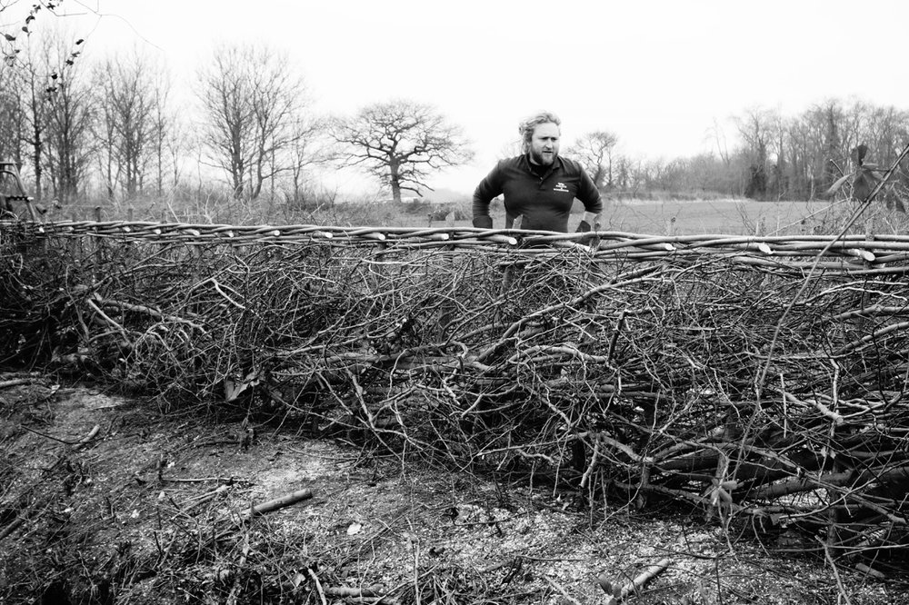 Hedge laying