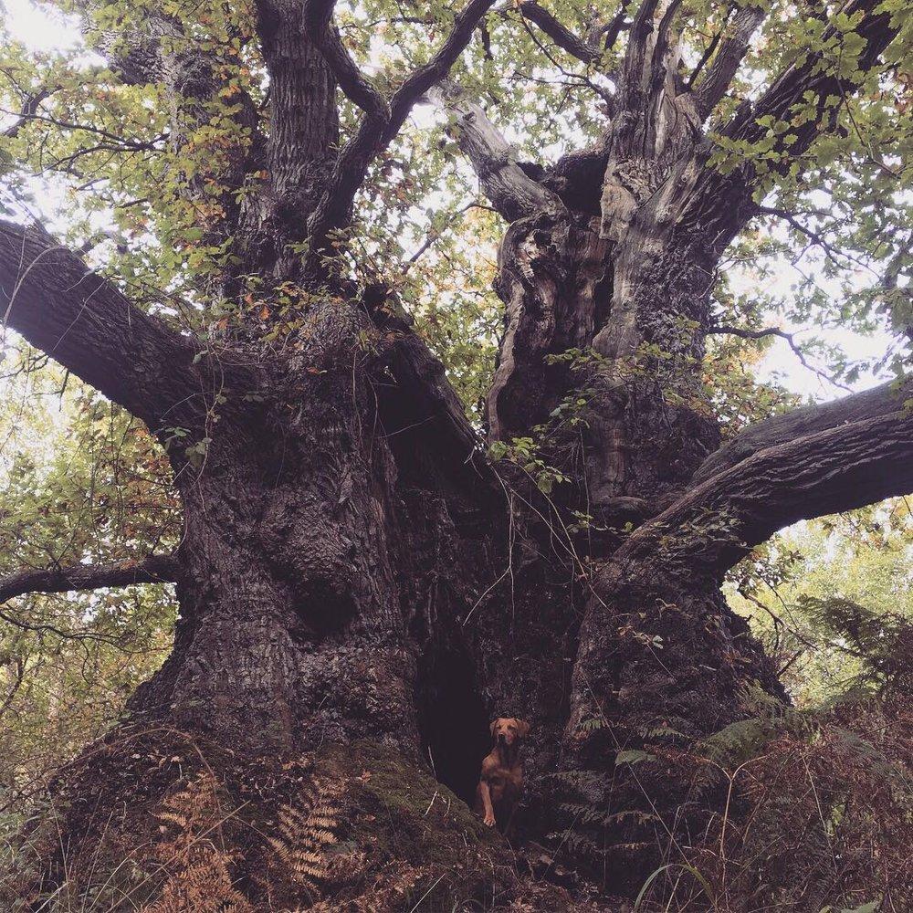 Grand Oak tree at Blenheim Palace