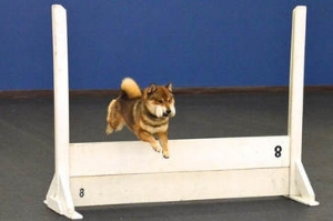 Mashi competing in obedience.