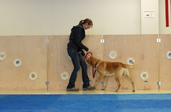 Not a primitive dog, but here is Katie working a Lab named Morgan at the Penn Vet Working Dog Center on the scent wall. Morgan is now a certified, working narcotics detection dog. And all his work he does for a chance to play ball or tug with his handler!