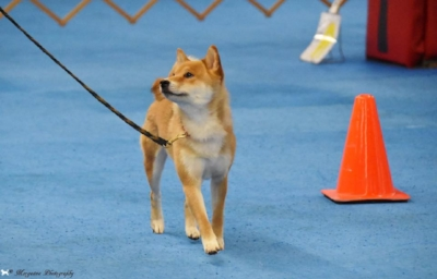 Molly's Saga strutting her stuff in Novice AKC Rally.