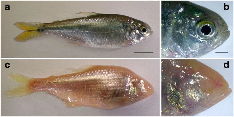 Surface fish (a, b) and cave fish (c, d) differ in many morphological traits, the most prominent being the loss of pigmentation and the loss of eyes in the cave forms. (Image reused with the kind permission from Copyright Clearance Center: Nature Communications.  The cavefish genome reveals candidate genes for eye loss . Suzanne E. McGaugh, Joshua B. Gross, Bronwen Aken, Maryline Blin, Richard Borowsky et al.,© Springer Nature 2014)