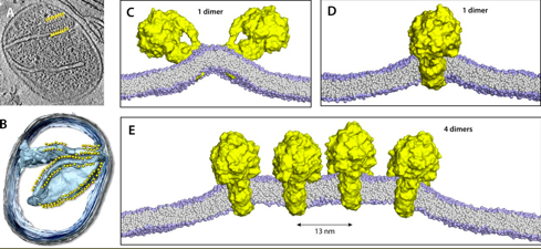 """Figure 3 : A more realistic portrayal of the mitochondrion, along with the structure-function relationship of ATP synthase. You know what they say - give a man an ATP synthase, he'll eat for a day. Show a man how to coordinate an array of ATP synthases, and….probably just more efficient ATP synthesis. Image shared by The Journal of General Physiology's Twitter account for the paper, """"   Mitochondrial ATP synthase dimers spontaneously associate due to a long-range membrane-induced force"""" by Anselmi, et al.   doi:10.1085/jgp.201812033 . Sorry, this one isn't Open Access. BOO!"""