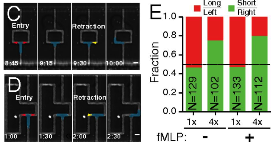 Figure 3 : C/D: Snapshots of a time lapse video recording of a neutrophil migrating through a microfluidic tunnel. The general position of the cell is in blue, with extension marked in red, and retraction marked in yellow. The dots in D demonstrate localized activation of the potent chemotactic  molecule, fMLP. E is the quantification of the results of multiple migration events. Cells that face the same amount of resistance on either path shows no preference of path, while cells facing a high resistance or low resistance paths choose low resistance paths, even when lured by fMLP. I would imagine that if I had to wiggle through a tight tunnel to get pizza or a wide tunnel with no pizza, I would probably forego the pizza more often than not.