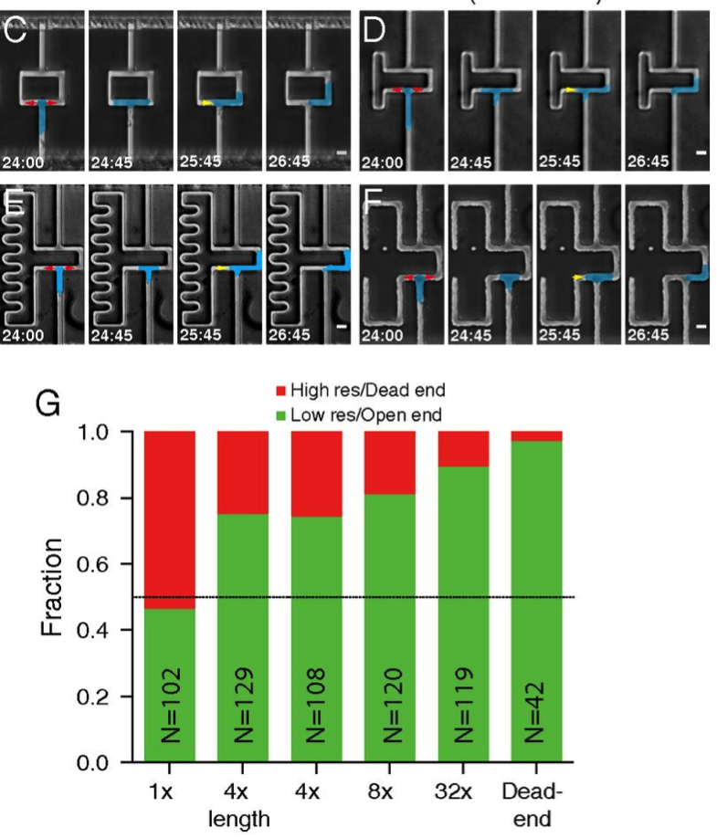 Figure 4 : Just like the previous figure, but more complicated. Panel C shows what happens when the length the cell has to travel is the same, but the width is smaller, which should increase the resistance in that path by 4-fold. You can KIND of see that the left path is thinner than the right path. D and E just show what happens when you go crazy (i.e. try to look for dose dependence), and F shows a dead-end path. G again shows the quantification of what paths are chosen, and as before, it is dose dependent: the more resistance, the less likely the cell will choose that path. Why would they be less lazy than us?