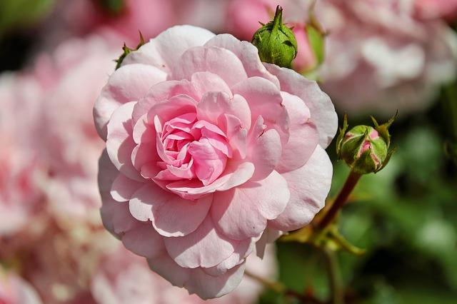 rose-1610932_640.jpg