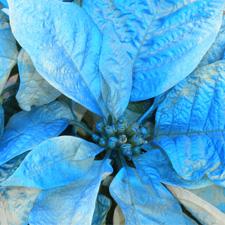 Blue Poinsettia Small.jpg