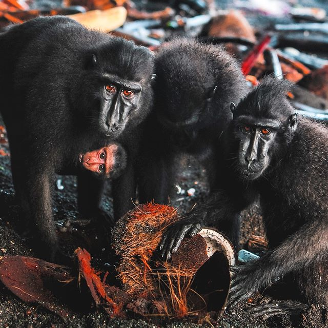 Happy World Monkey day! 🐒 These Sulawesi crested macaques live only in the small Tangkoko reserve on the island of Sulawesi, Indonesia and one tiny neighbouring island. Wandering through a troupe as they forage on a black sand beach is an incredible experience worth seeking out if travelling in Indonesia!