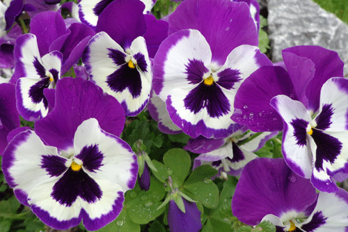 xediblepansy.png.pagespeed.ic.fu_aXdf3Db.png