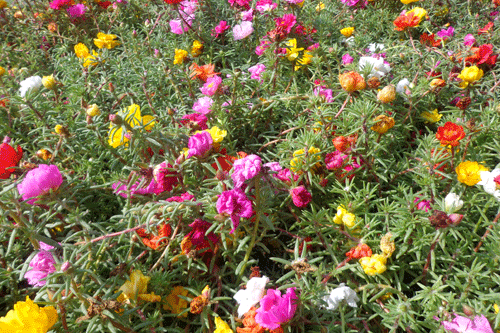 xedibleportulaca.png.pagespeed.ic.lAE2pCh6mM.png