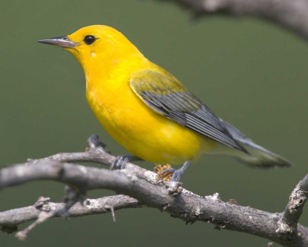 Warbler Workshop  - Four SessionsOctober 16, 23, 30, November 6, 2017Click here for more information