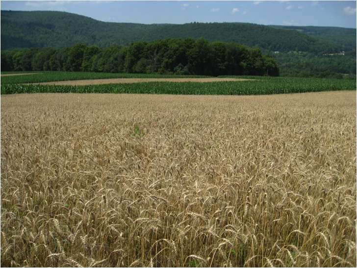 Wheat and corn strips.jpg