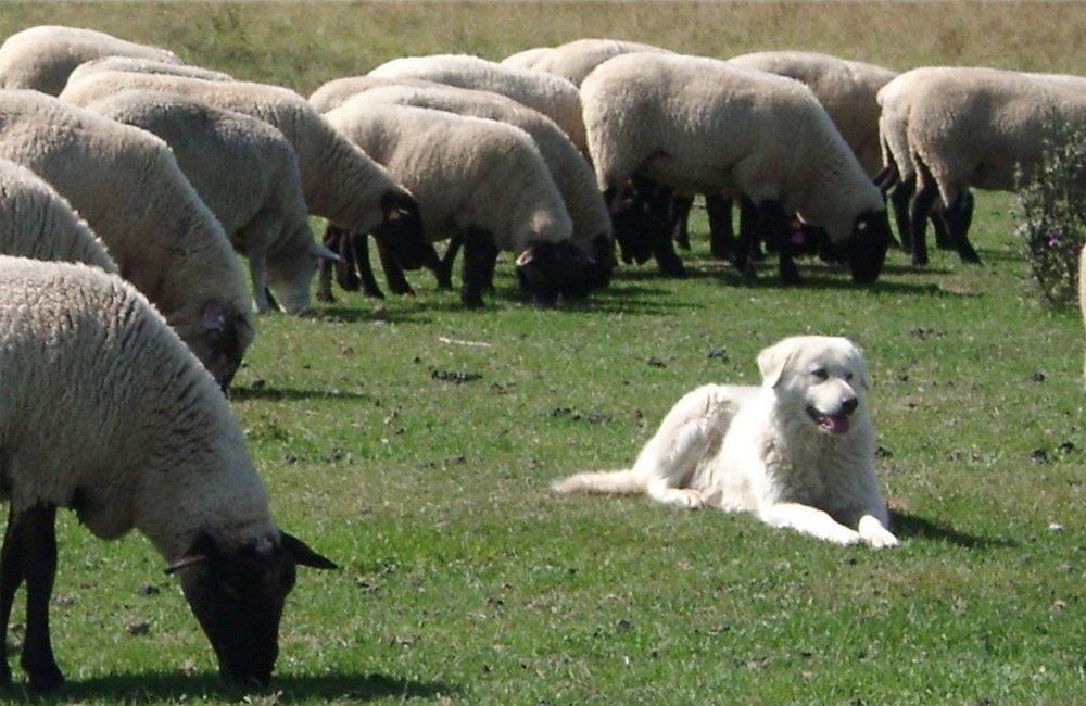Shepherd (2).jpg