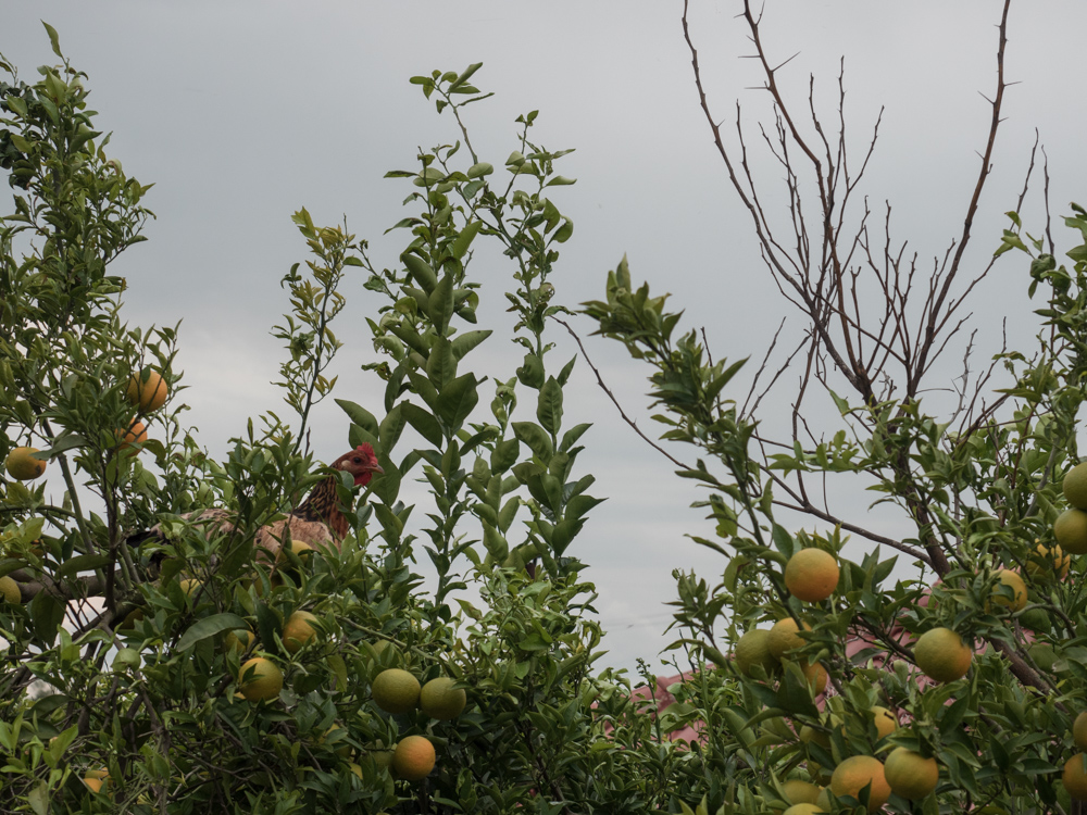 Hühner auf Mandarinenbaum