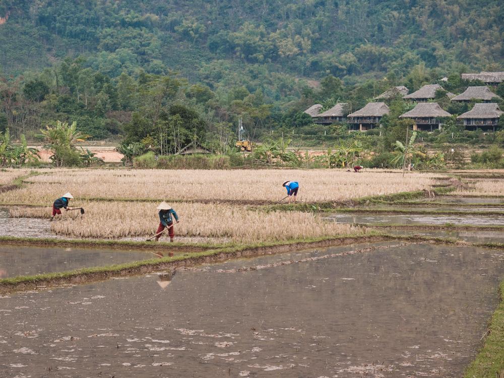 In den Reisfeldern wird hart gearbeitet