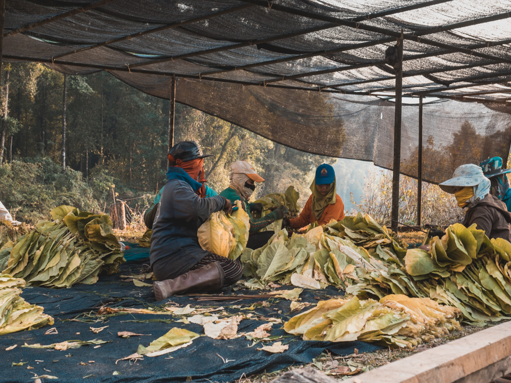 Die Tabakblätter werden zum Trocknen bereit gemacht