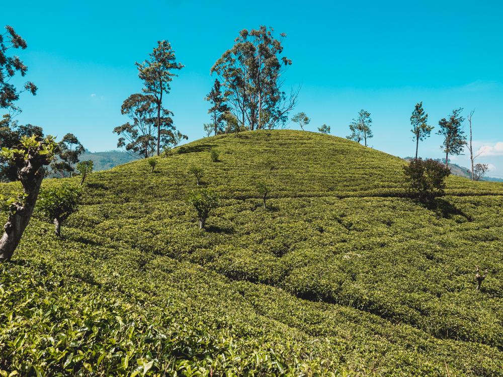 Teeplantage in Ella