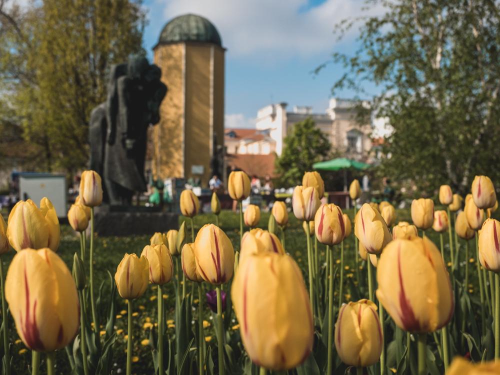 Überall blühen die Tulpen