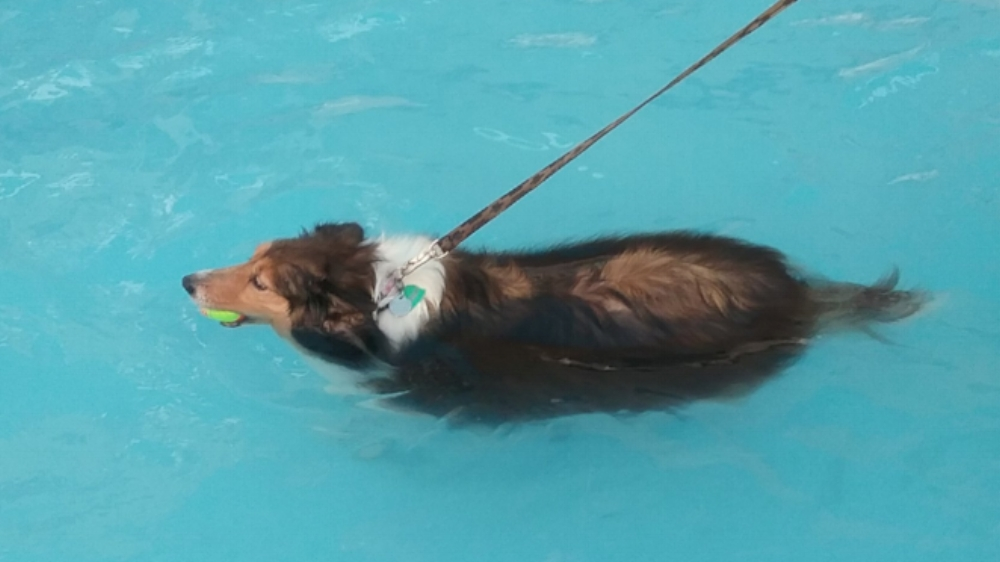 8 year old Sheltie Rosie was a dignified lady in and out of the pool. Right: in her custom bathrobe.