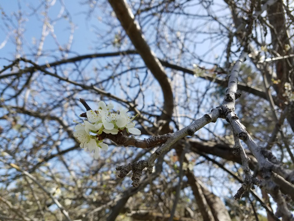 A fresh bloom on the historic Tetherow plum trees (It's a metaphor for keeping the past alive, get it?!)