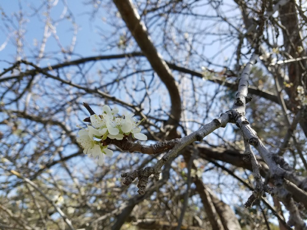 Spring blossoms on the plum trees at Tetherow Crossing Park