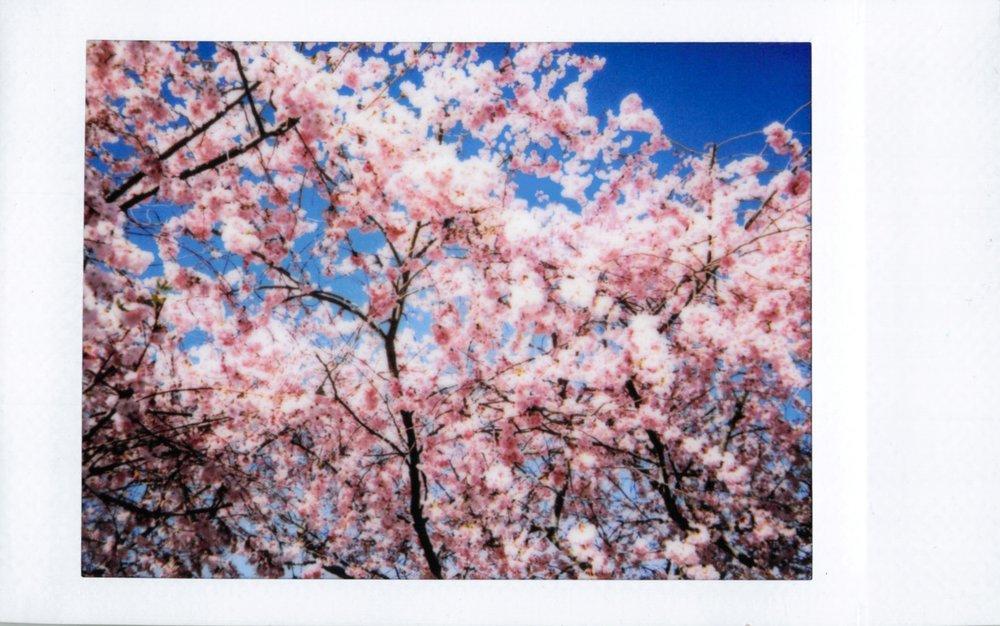 Cherry blossom season is right around the corner!