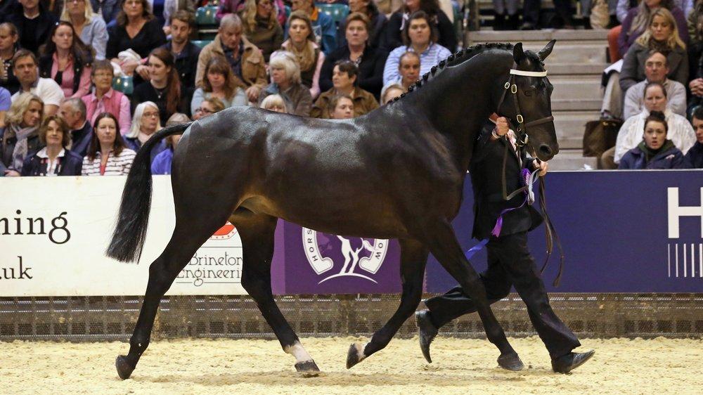 Gemini Classic Opera Horse of the Year Show Cuddy Supreme In-Hand Championship