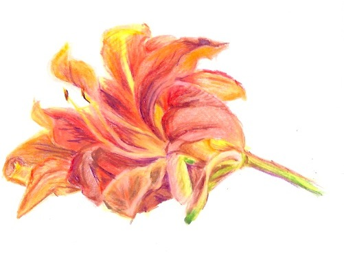 Colored pencil sketch lily.jpeg