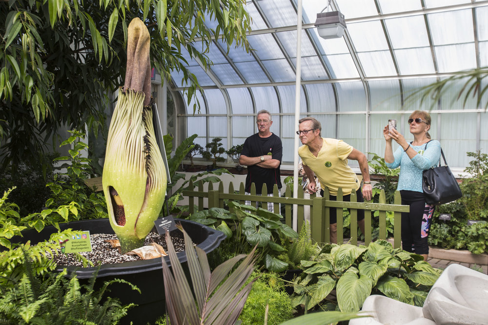 The Buffalo and Erie County Botanical Gardens partially cut Morty the corpse flower to show its female part opening prior to the male part on Tuesday, June 12, 2018. Bill Wells looks closely while Kathy Quinn takes photos.