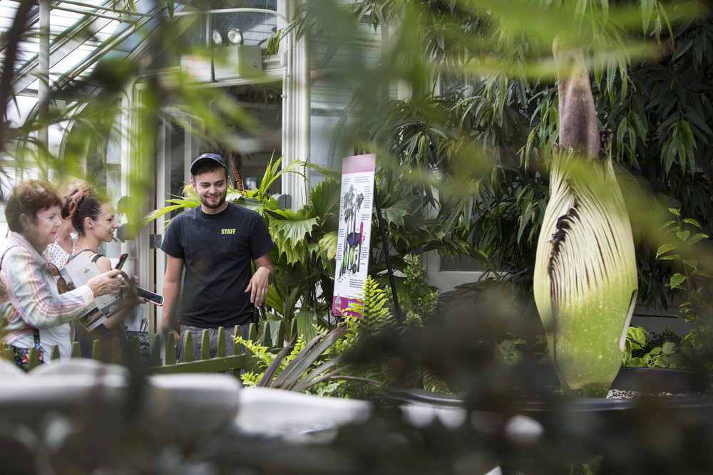 Morty the corpse flower blooms at the Buffalo and Erie County Botanical Gardens.