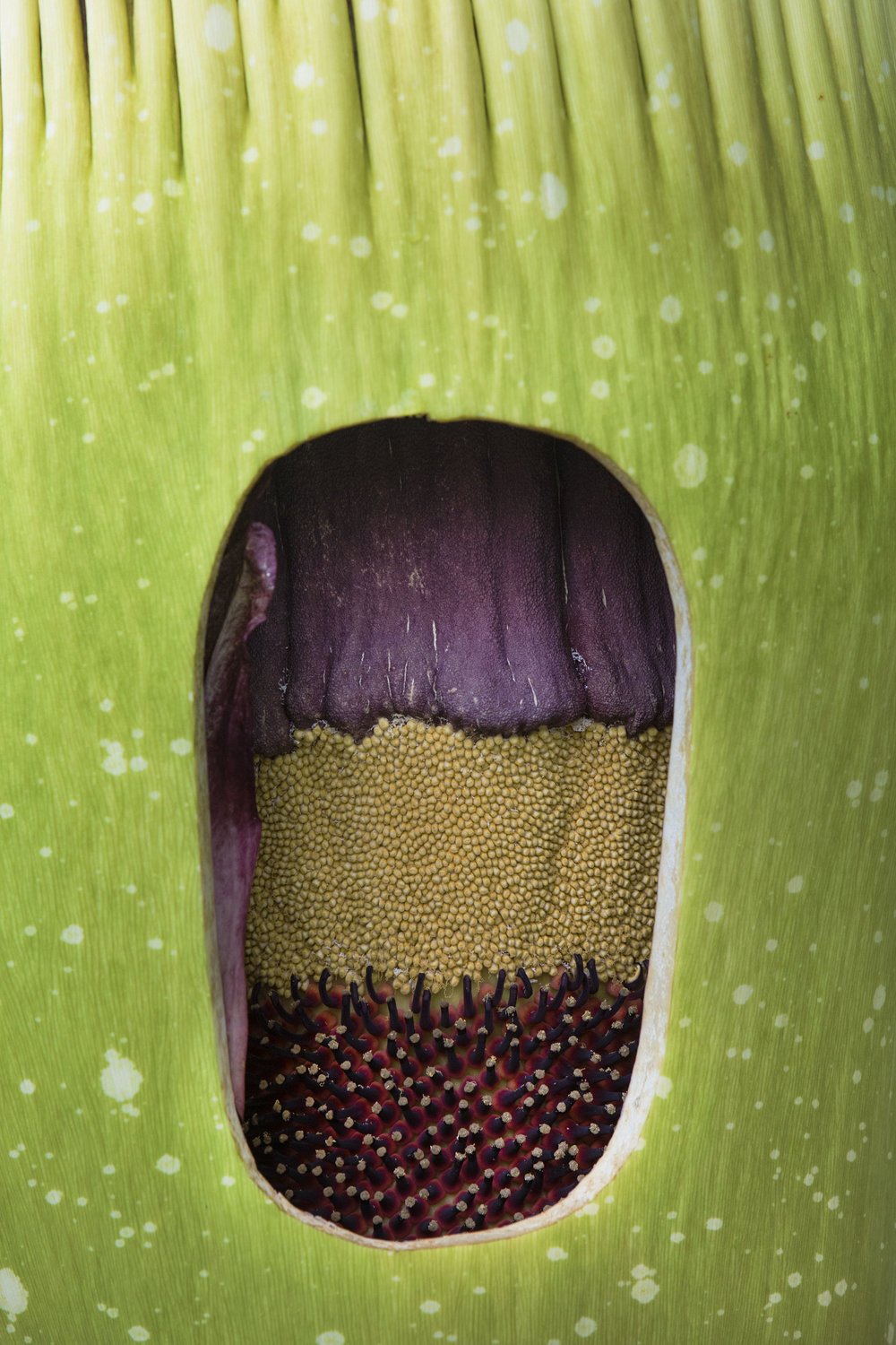 The cut portion of Morty the corpse flower.