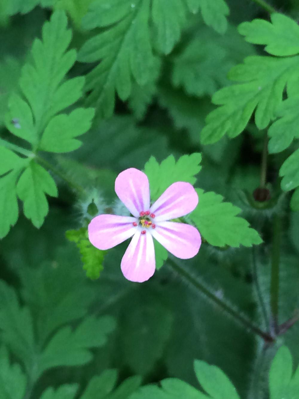 pink-wild-flower.jpg