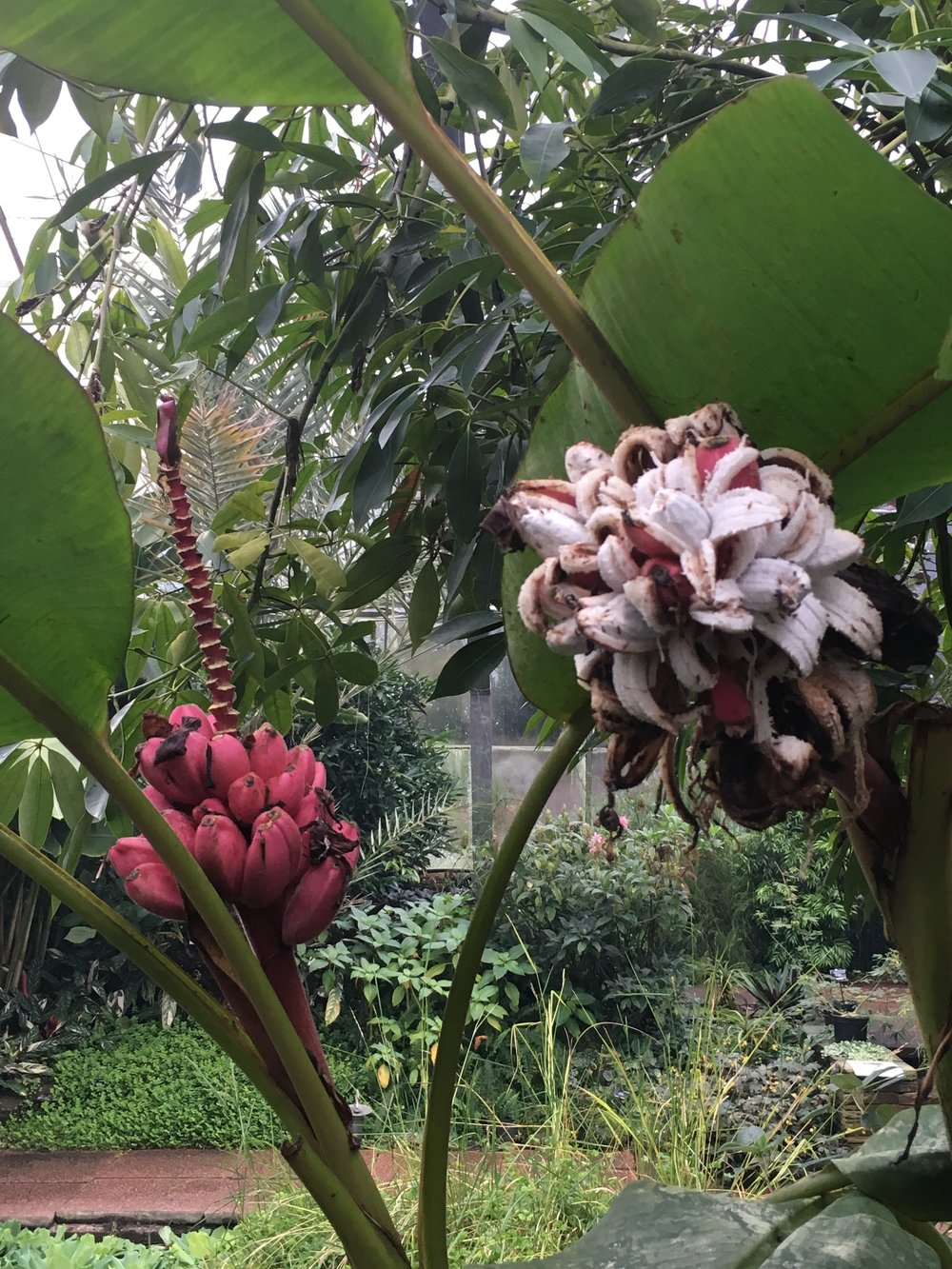 Unmodified bananas grown at the botanics
