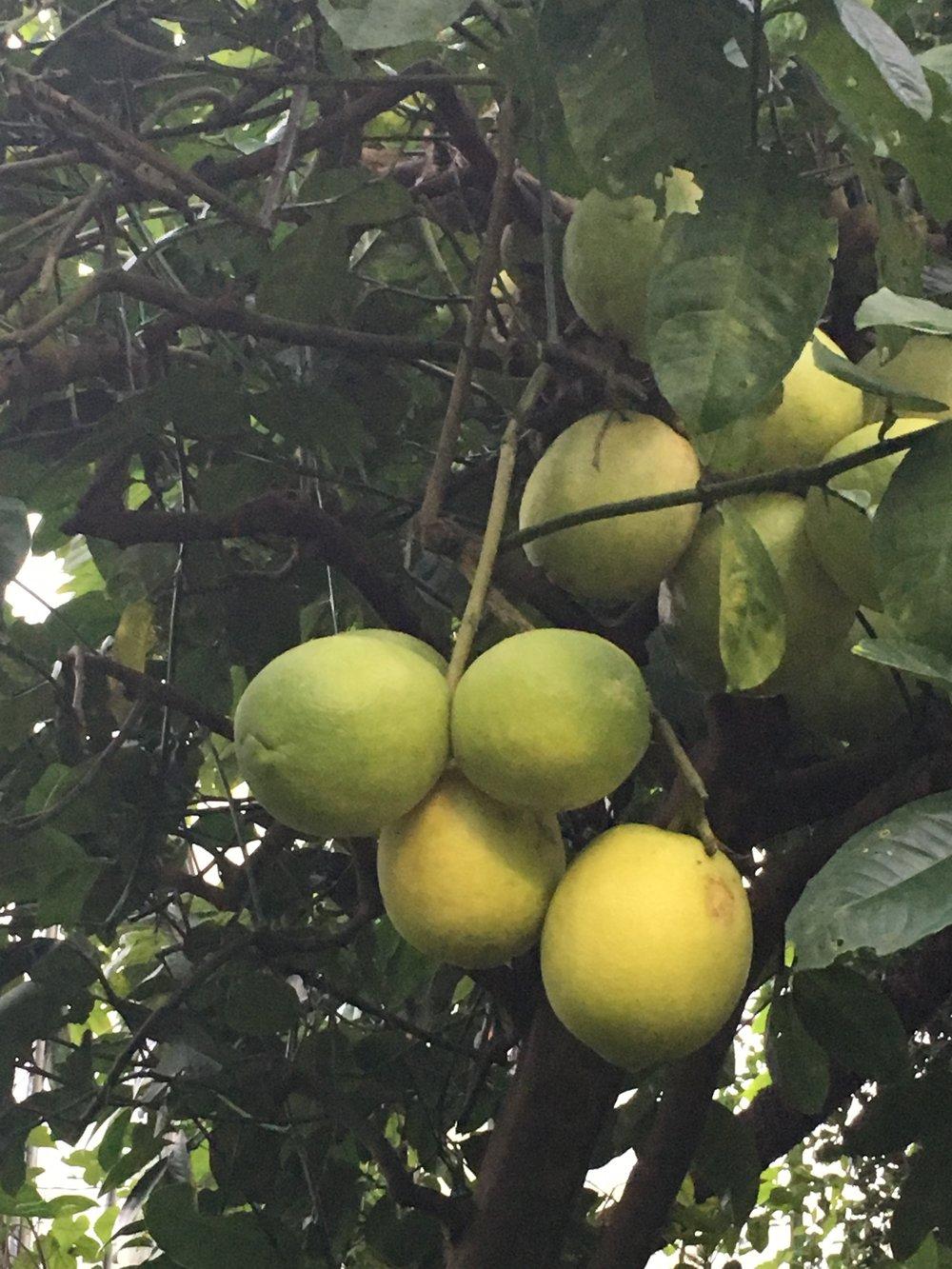 Citrus fruit grown at the botanics