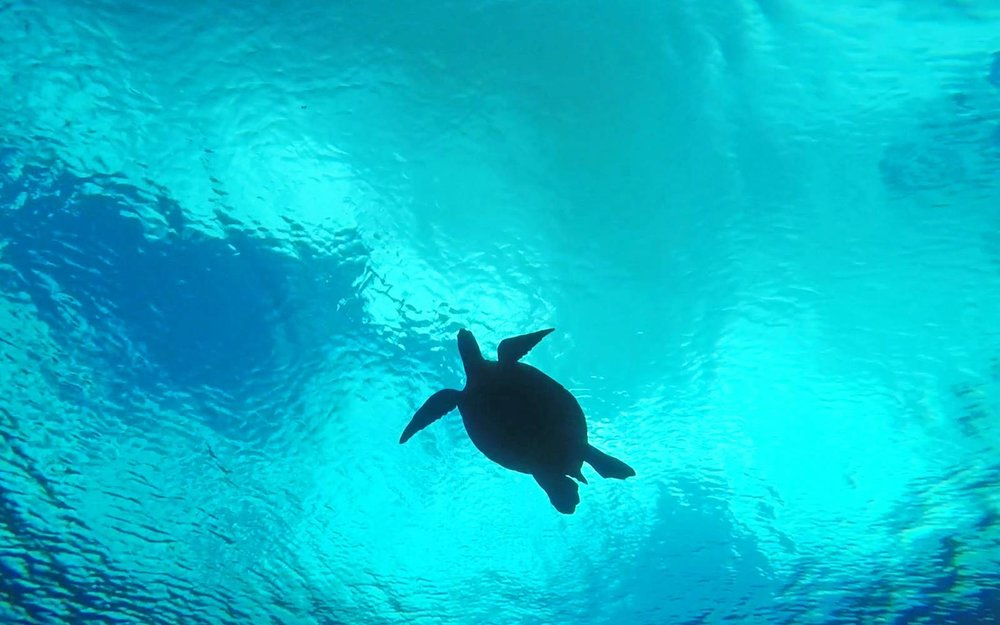 Tips For Snorkeling With Sea Turtles in Maui