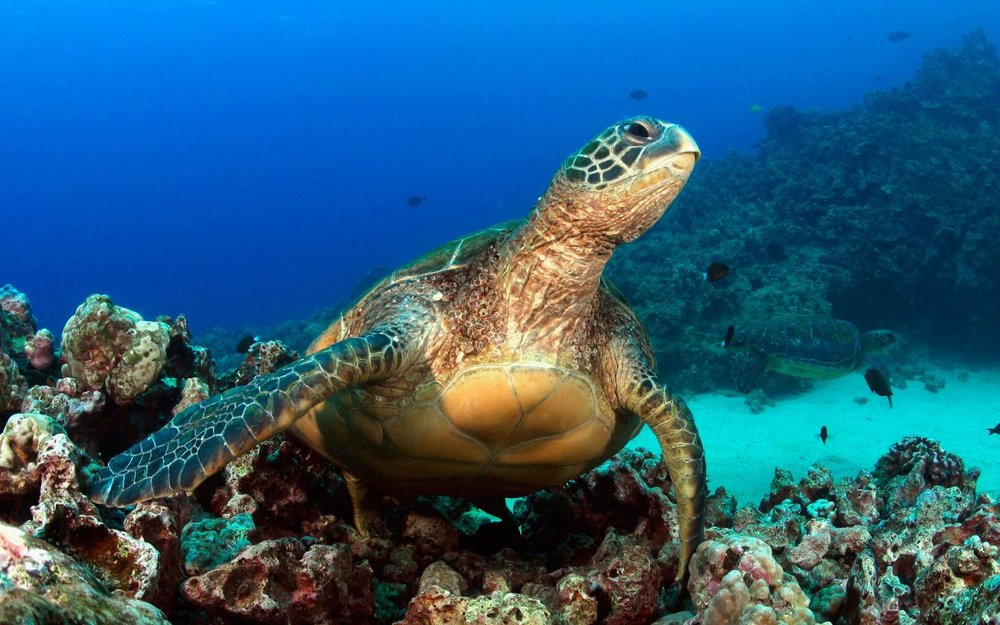 Snorkeling To Save Maui's Reefs