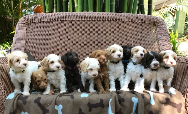 Tampa Bay Semper Fidelis and her littermates. Photo Courtesy of Tampa Bay Australian Labradoodles.