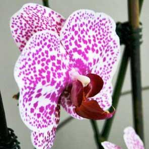 Zen-Orchid.jpg