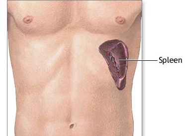 Spleen QI Deficiency picture showing where the spleen is in the body