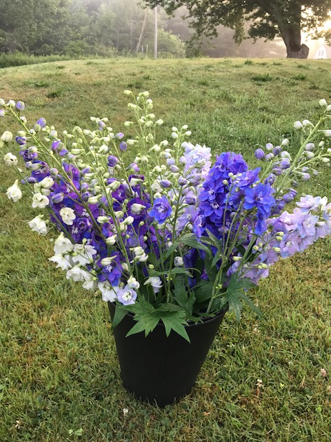 Guardian Mix Delphinium.JPG