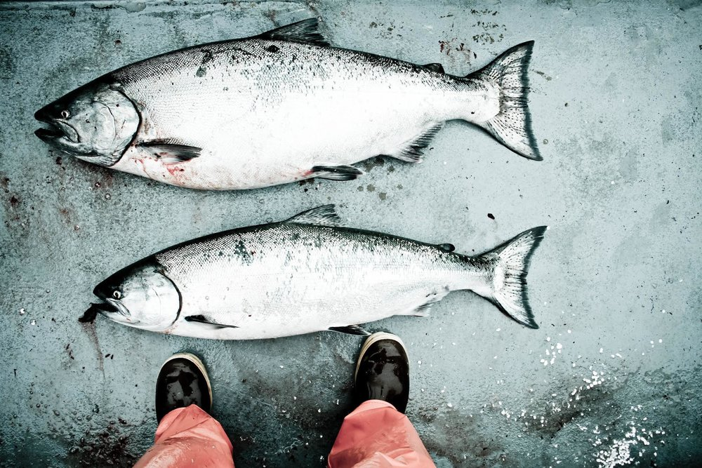 Claire Neaton — Pretty King Salmon Pic Prince William Sound.jpg