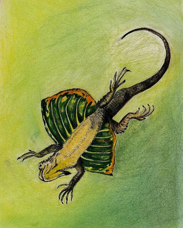 It's a bird! It's a plane! It's a... lizard?! Listen to what the flying lizards, the famous Draco volans of Indonesia, can tell us about successes and failures of evolution on a tropical island with Dr. Jim McGuire of @ucberkeleyofficial ✈️🦎 . Listen on our website, link in biooo! Also available on iTunes, SoundCloud, Google Play Music, Stitcher, Mixcloud, and TuneIn! . Interviewed by @kbkinsey and Jeff Lauder Produced by @gildthelillie Edited by @jackie.shay Artwork by @kbkinsey . #ListentoLife #lizard #flyinglizard #herpetology #Draco #evolution #biogeography #phylogenetics #Indonesia #podcast #biology #RadioBio #UCMerced #UCBerkeley